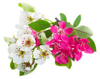 Blossoming Apple and cherry tree Flowers Stock Image