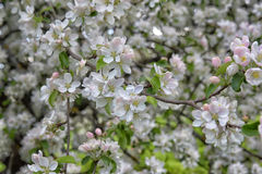 Blossoming apple closeup Stock Images