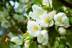 Bluring white apple flowers in spring time with green leaves. Blossoming of apple flowers in spring time with green leaves, macro, blur royalty free stock photo