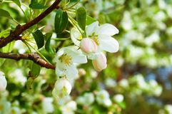 Bluring white apple flowers in spring time with green leaves. Blossoming of apple flowers in spring time with green leaves, macro, blur stock images