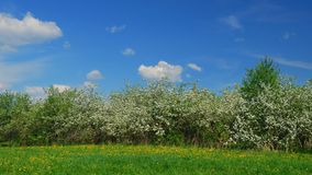 Blossoming apple fruit trees in orchard in springtime. Panoramic time lapse shot of blossoming apple fruit trees in orchard in springtime stock video footage
