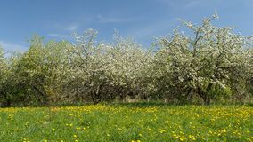 Blossoming apple fruit trees in orchard in springtime. Panoramic video shot of blossoming apple fruit trees in orchard in springtime stock video