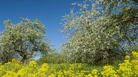 Blossoming apple fruit trees in orchard in springtime. Video shot of blossoming apple fruit trees in orchard in springtime stock video footage