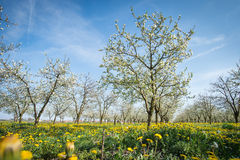 Blossoming apple garden Royalty Free Stock Photos