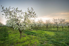 Blossoming apple garden Royalty Free Stock Photo