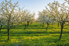 Blossoming apple garden Royalty Free Stock Photography