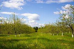 Blossoming apple garden in spring royalty free stock image