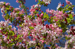 Blossoming apple garden in spring. Pink apple flower blossom in spring in strong sunlight Stock Image