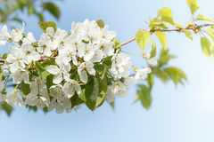Blossoming apple garden in spring with very shallow focus Royalty Free Stock Photo