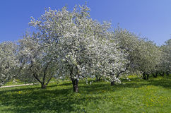 Blossoming apple. Royalty Free Stock Images
