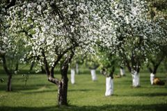 Blossoming apple orchad in spring Stock Photography