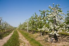 Blossoming apple orchard Royalty Free Stock Photos