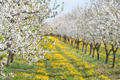 Blossoming apple orchard Stock Image