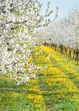 Blossoming apple orchard Stock Images