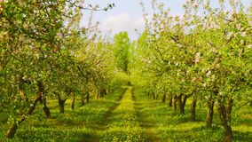 Blossoming apple orchard. Colorfull blossoming apple orchard in spring stock footage