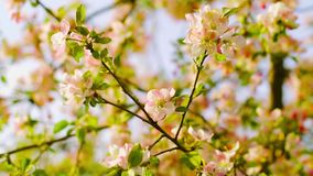 Blossoming apple orchard stock footage