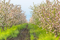 Blossoming apple orchard in May evening Stock Images