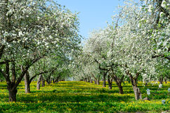 Blossoming apple orchard. May spring landscape Stock Photo