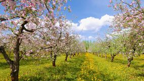 Blossoming apple orchard, pan stock footage