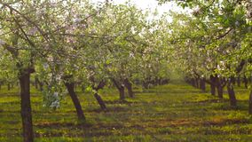 Blossoming apple orchard stock video footage