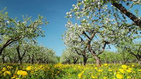 Blossoming apple orchard, shooting slider stock footage