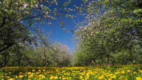 Blossoming apple orchard, shooting slider stock video