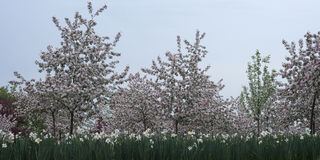 Blossoming apple orchard. In spring Royalty Free Stock Photo