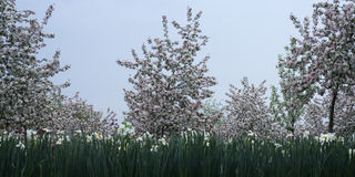 Blossoming apple orchard. In spring Stock Photography