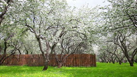 Blossoming apple orchard on a spring day stock video