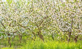 Blossoming apple orchard in spring evening Royalty Free Stock Image