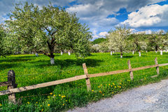 Blossoming apple orchard in spring. In the garden Royalty Free Stock Image