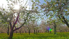 Blossoming apple orchard stock video