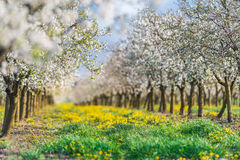 Blossoming apple  orchard in spring time Stock Image