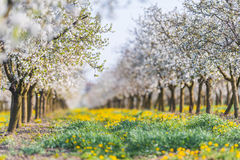 Blossoming apple orchard in spring time. Blossoming flower apple orchard in spring time Stock Images