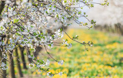 Blossoming apple orchard in spring time. Blossoming flower apple orchard in spring time Stock Image