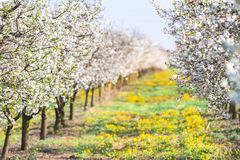 Blossoming apple orchard in spring time. Blossoming flower cherry orchard in spring time Royalty Free Stock Photography