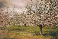 Blossoming apple orchard in spring Stock Photos