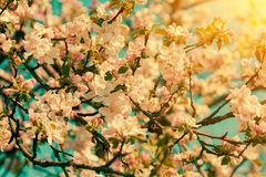 Blossoming apple orchard Royalty Free Stock Photography