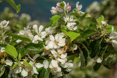 Blossoming apple orchards Royalty Free Stock Image