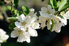 Blossoming apple. Spring Royalty Free Stock Photos