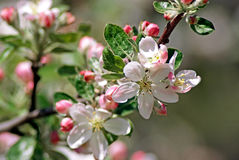 Blossoming apple. Spring Royalty Free Stock Photography