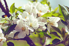 Blossoming apple. Spring Stock Images