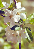 Blossoming apple. Spring Stock Photo