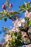 Blossoming apple in spring Stock Photography