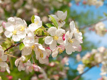 Blossoming of apple-tree Stock Images