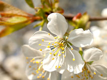Blossoming apple-tree Stock Photo