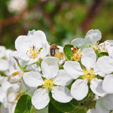 Blossoming of apple tree Stock Images