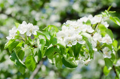 Blossoming an apple-tree Stock Image