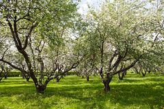 Blossoming apple-tree Stock Images