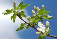 Blossoming apple tree. Branch of blossoming apple tree on sky background Stock Photos